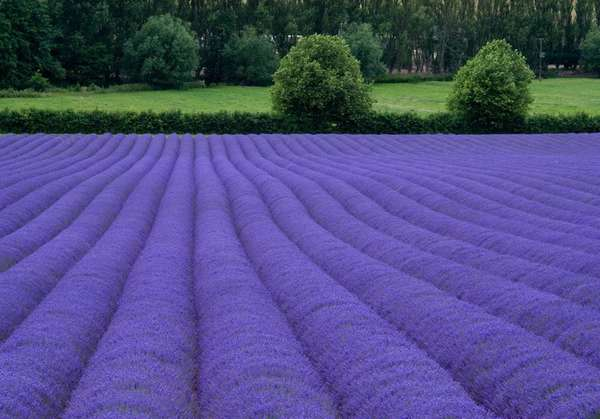 поля лаванды франция