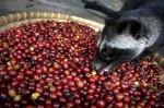 Как делают самый дорогой в мире кофе