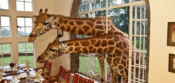 Giraffe Manor кения