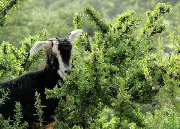 козы марокко