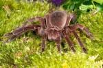 Терафоза Блонда — самый большой в мире паук
