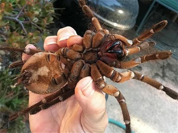 фото самый большой паук
