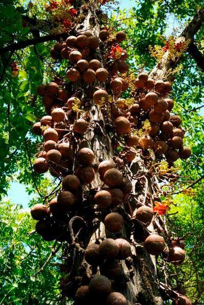 пушечное дерево фото
