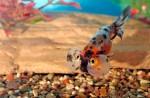 Пузыреглаз — удивительная золотая рыбка