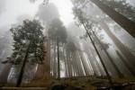 Гигантские Секвойи — самые большие деревья на Земле