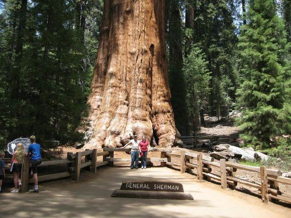 самые большие деревья