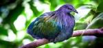 Гривастый голубь