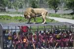 Экстремальная прогулка по чилийскому зоопарку Safari Lion Zoo