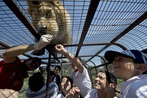дикие львы фото