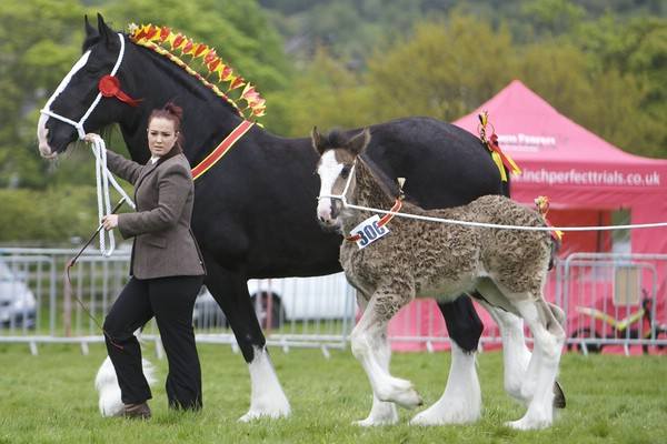 лошади породы шайр фото