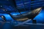 Музей китов в Рейкьявике, Исландия