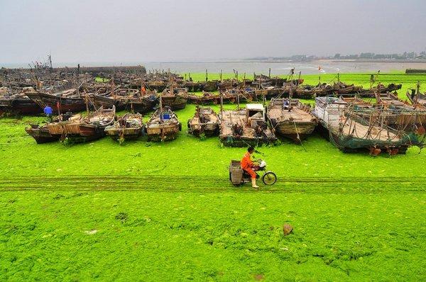 нашествие морских водорослей в китайском городе Циндао