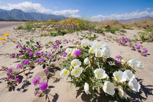 Удивительное цветение калифорнийской пустыни Анза-Боррего