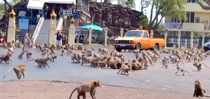 в Таиланде без туристов голодаю дикие обезьяны